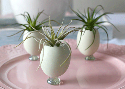 Natural Egg Shell planters with air plants inside